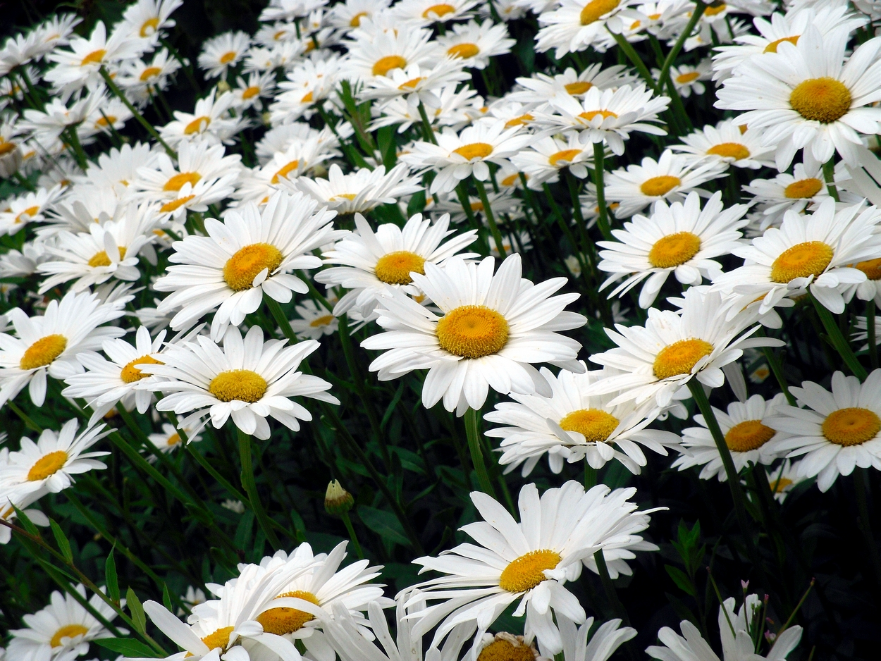 Flower connies world happy faces white daisy field by kyle winter sweet pea is also the birth flower for april izmirmasajfo